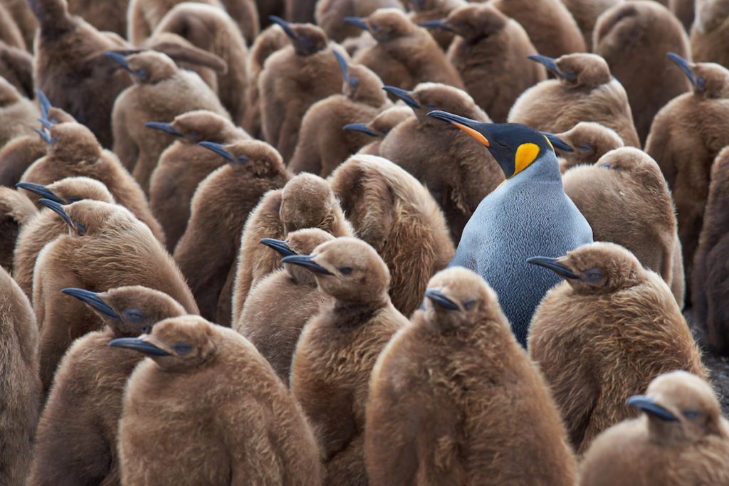 群れているペンギン